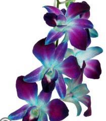 Orchids Decorative