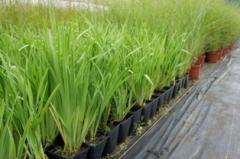 Kosaciec syberyjski/ Iris sibirica