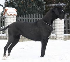 Great Danes, German