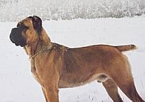 Psy z rodowodem Cane Corso