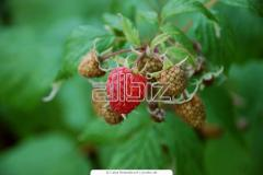 Cuttings of raspberries