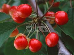 Sadzonki czereśni, drzewka owocowe szczepione