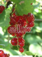 Saplings, currant bush