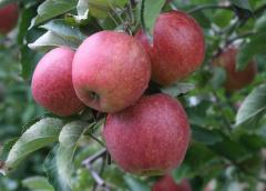 Apples Jonagored
