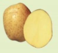 Sadzeniaki ziemniaka odmiany Viviana