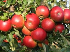Jabłoń, malus domestica, sadzonki jabłonki,