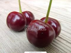 Sadzonki wiśni, cerasus Miller, dr4zewka wiśniowe,