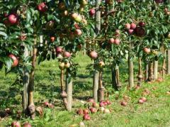 Apple tree plants