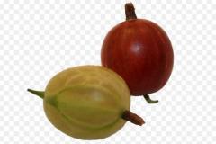 Sadzonki agrestu, krzewy agrestu białego i