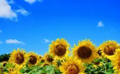 Deodorized Sunflower oil