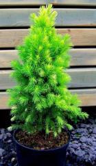 Picea glauca Daisy White -  Świerk biały
