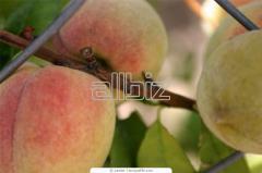 Drzewka owocowe, sadzonki brzoskwini, drzewko