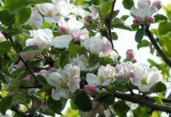 Apple tree plants