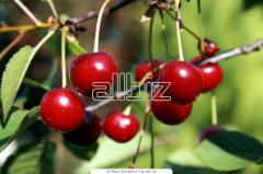 Czereśnie, drzewka czereśniowe, sadzonki czereśni