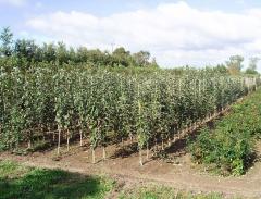 Drzewka owocowe jabłoni, jabłonki, sadzonki jabłoń