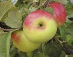 Jabłko Książę Albrecht Pruski