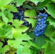 Grape saplings of wine varieties