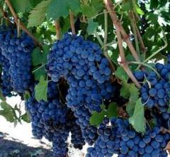 Vine saplings of late grades