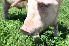 Boars semen