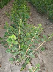 Saplings, gooseberry bush