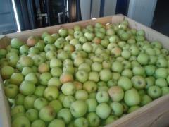 Jabłka świeże polskich odmian - Golden