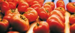 Pomidory w szklarniach