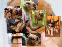 Pieski z rodowodem FCI rasy Griffon i Japan Chin