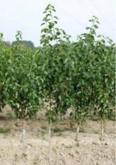 Seedlings of apples variety Cortland