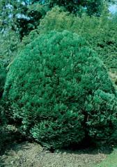 CHAMAECYPARIS - CYPRYSIK  lawsoniana 'Minima Glauca'