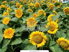 Sunflower husk