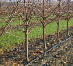 Cherry seedlings