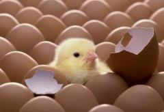 Hatching eggs and chicks