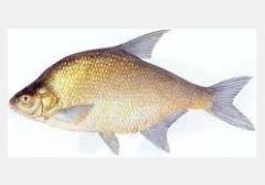 Leszcz, leszcze, ryby świeże