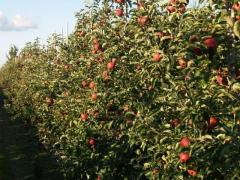 Jabłka polskich odmian na eksport