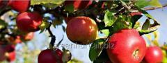 Sadzonki drzewek owocowych, jabłonki z koronką i