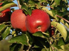 Polskie jabłka przeznaczone na eksport