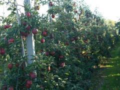 Jabłka z Polski - różne odmiany