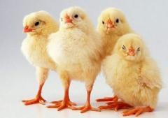Kurczaki ras wylęgowych, brojlery !