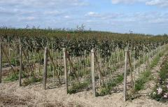 Sadzonki drzewek owocowych, drzewa z koronką i bez