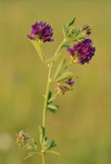 Nasiona lucerny siewnej