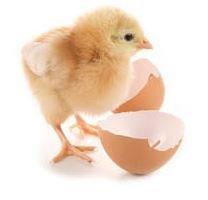 Вылупления цыплят бройлеров породы