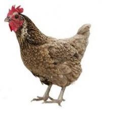 Chickens for meat and egg breeds