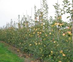Sadzonki jabłoni