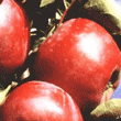 Jabłka Alwa