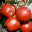 Jabłka Elise