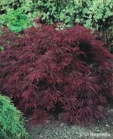 Acer palmatum 'Ornatum' - szczepiony