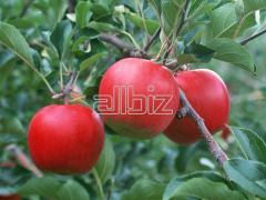 Jabłka różnych odmian, jabłka