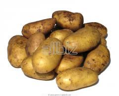Varietal Potato