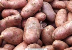 Ziemniaki wczesne