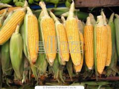 Kukurydza sucha i mokra